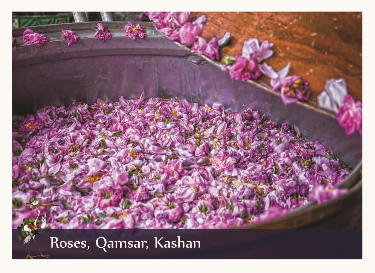 Roses Qamsar